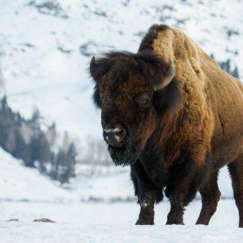 Bison Wilderness Medicine in Yellowstone